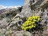 Draba polytricha, Kostandagi Gecidi 2280m