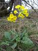 Primula veris ssp. canescens