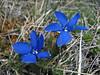 Gentiana verna ssp pontica