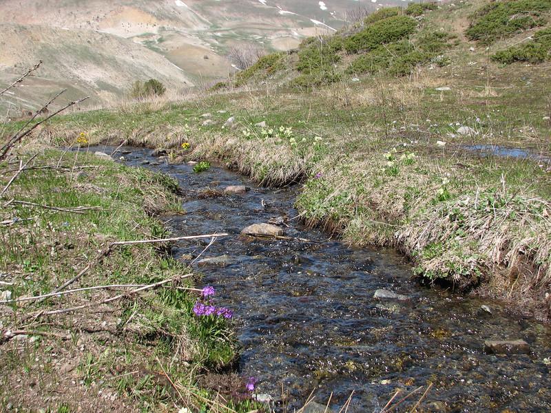 Primula auriculata and P. elatior along the stream