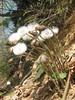 Tussilago farfara, (NL: klein hoefblad)