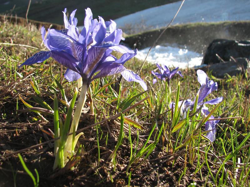 Iris histrio, Soganli Gecidi  2230m, North of Bayburt