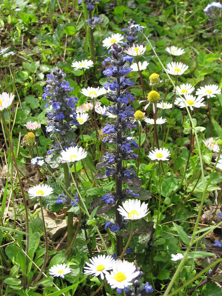 Bellis perennis and Ajuga genevensis, habitat