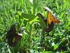Aristolochia bottae