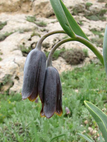Fritillaria pinardii