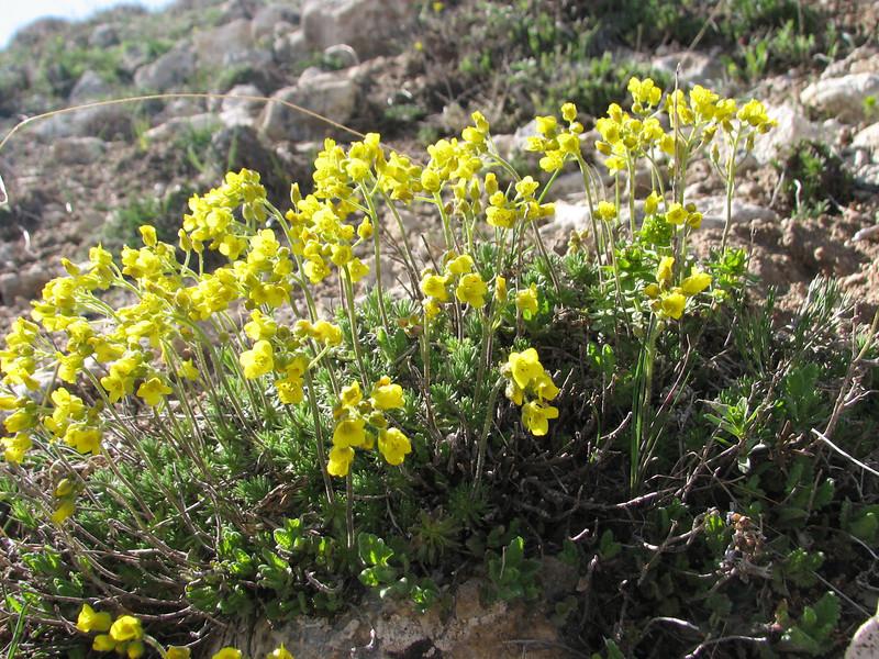 Draba bruniifolia, W Palandoken