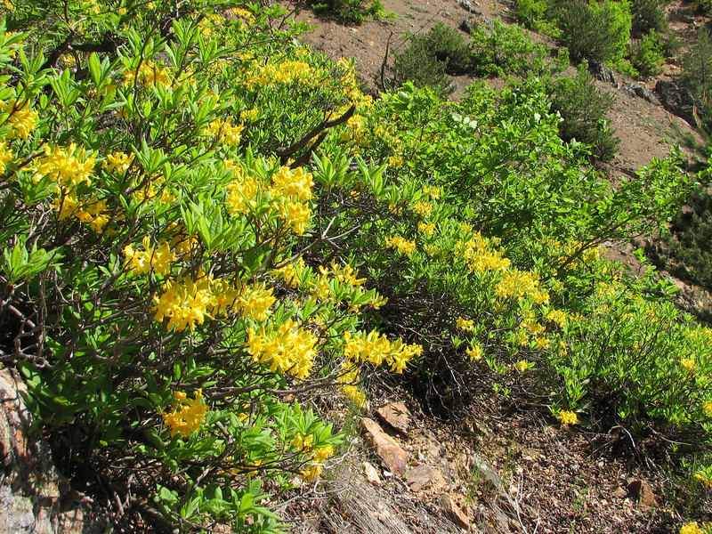Rhododendron luteum, (near Trabzon)