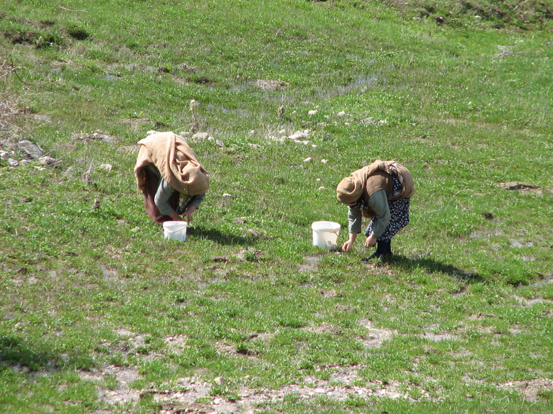 Local people are collecting plants (near Bayburt)