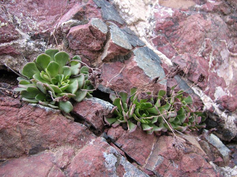 Rosularia armenum var. armenum