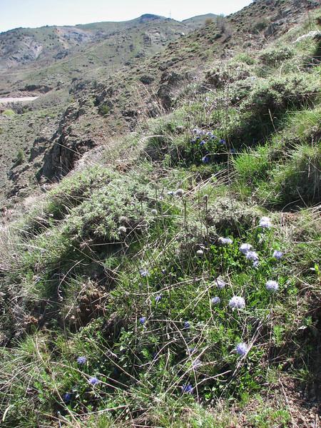 Globularia trichosantha habitat