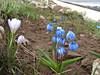 Crocus biflorus and Scilla sibirica ssp. armena