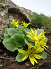 Ranunculus kochii,  (Karagol Daglari)