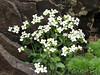 Arabis alpina ssp caucasica
