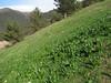 Primula vulgaris ssp vulgaris and Colchicum spec. (biotope near Zigana pass)