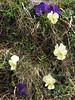 Viola altica ssp oreades