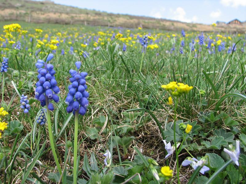 Muscari armeniacum and Erysimum uncinatifolium, Altindere vadisi milli parki (near Trabzon)