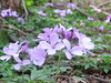 Dentaria quinquefolia
