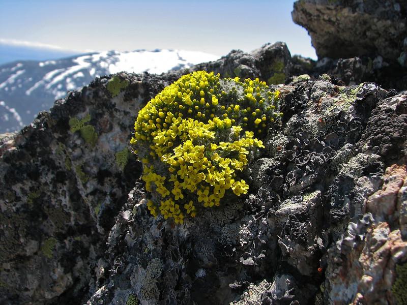 Draba polytricha, Soganli Gecidi  2230m