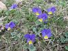 Viola altaica ssp. oreades,  Zigana pass 2010m