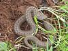 Vipera eriwanensis ?, (NL: Adder)