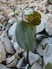 Fritillaria crassifolia ssp. crassifolia,  Bahitli Dagi 2030m