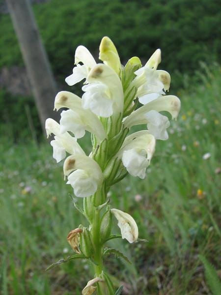Pedicularis caucasica,  (near new Zigana passroad)