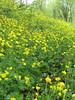 Ranunculus cappadocicus