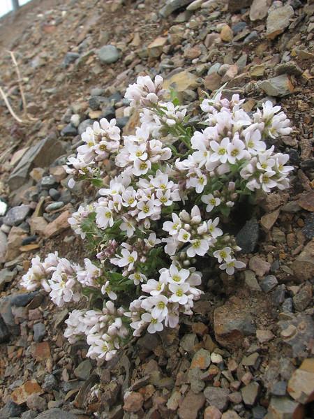 Arabis alpina ssp. caucasica (rocks, south of Erzurum)