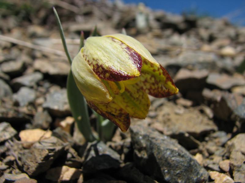 Fritillaria crassifolia ssp. crassifolia