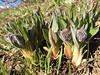 Solenanthus stamineus in bud