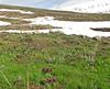 Iris reticulata SW Erzurum