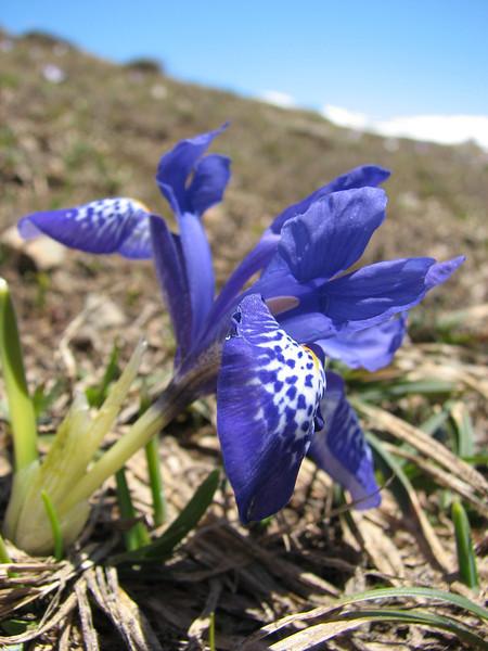 Iris histroides, Soganli Gecidi  2230m