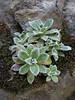 Saxifraga paniculata ssp. cartilaginea, Altindere vadisi milli parki