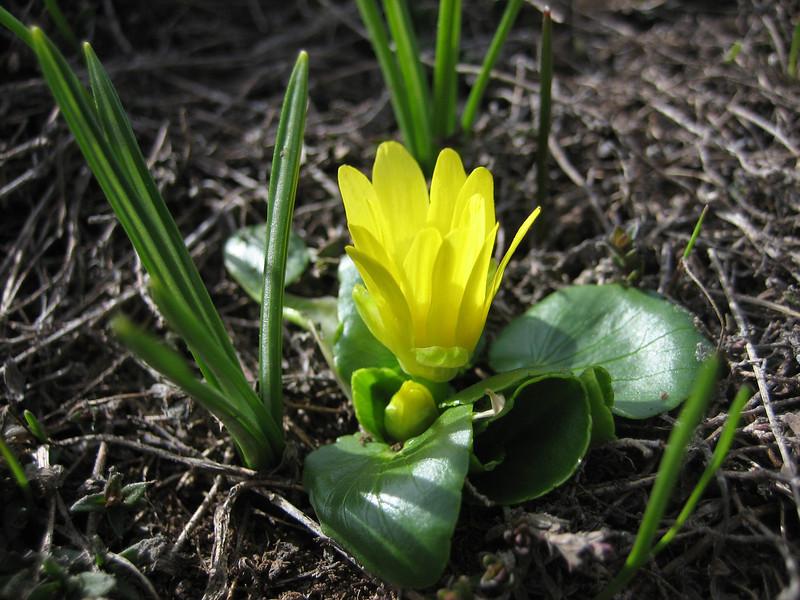 Ranunculus kochii (Çamlıbel Geçidi)