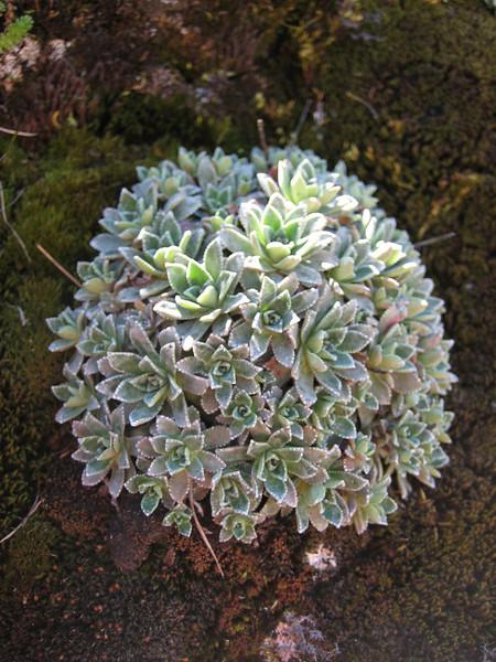 Saxifraga paniculata ssp. cartilaginea, near Bayburt