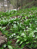 Galanthus krasnovii and Corydalis solida