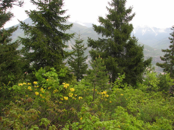Rhododendron luteum, Artvin