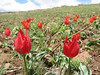 Tulipa julia, (Palendoken mountains)