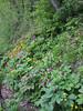Paeonia mascula ssp arietina