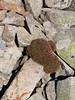 Acantholimon bracteatum, Soganli Gecidi  2230m