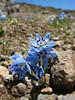 Scilla sibirica ssp. armena, Soganli Gecidi  2230m