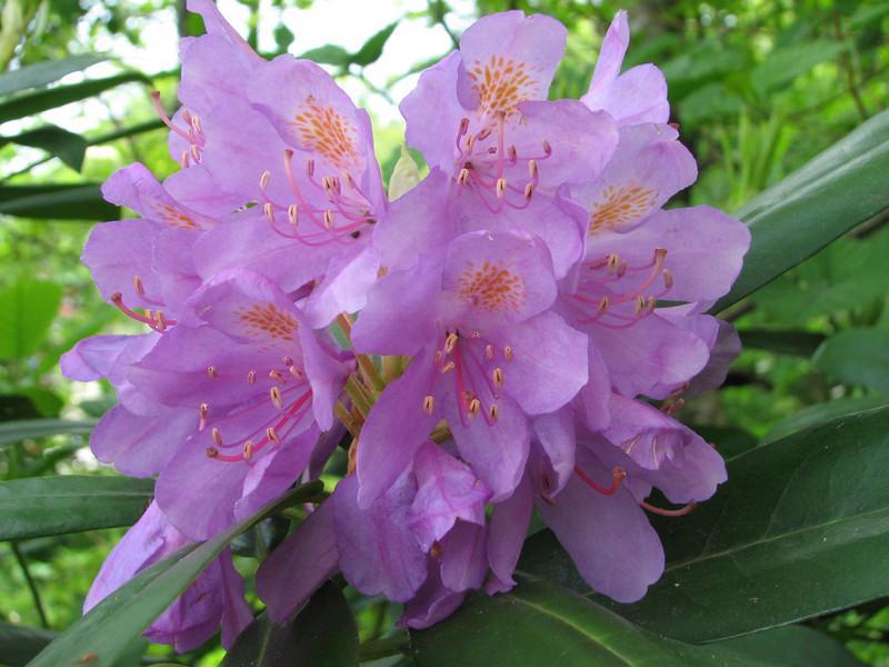 Rhododendron ponticum (along the Black Sea Coast, near Findikli)