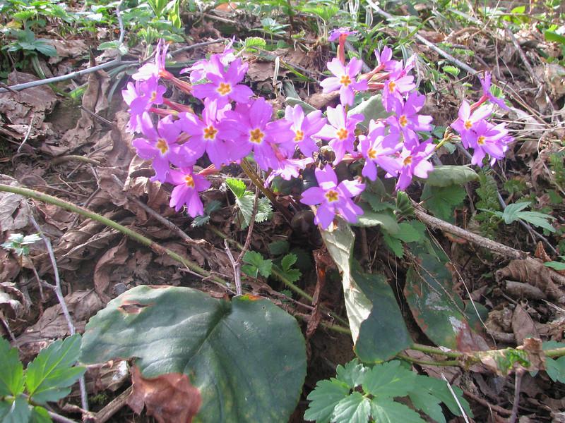 Primula megaseaefolia (on a pass near Murgul)