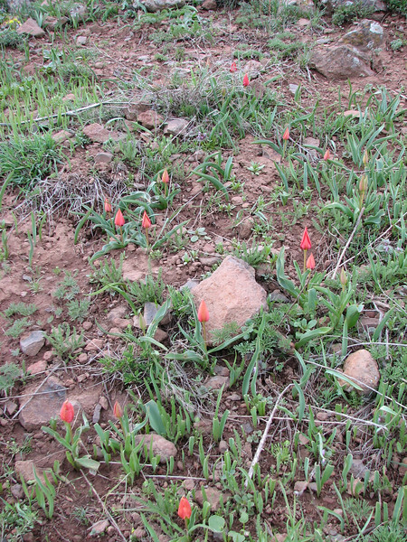 habitat of Tulipa sintenisii near Erzurum