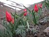 Tulipa cf. julia