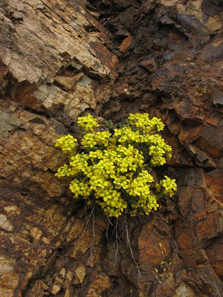 Alyssum lepidotum (rocks, south of Erzurum)