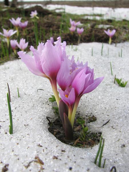Colchicum szovitsii (Çamlıbel Geçidi)