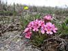 Androsace armeniaca ssp. armeniaca