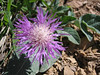 Centaurea cf. hypoleuca