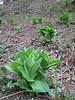Veratrum album ssp. lobelianum, Altindere vadisi milli parki (near Trabzon)